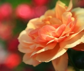 wedding-rose